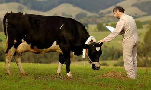 Farmers use mobile phones to connect to cows