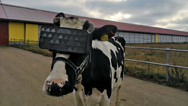 VR Headsets Might Help Cows Produce More Milk: Study