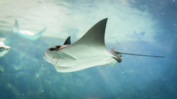 New Stingray-Shaped BREEZE Technology Might Solve Mysteries Of Venus